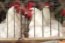 pollo2